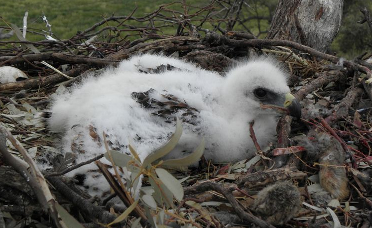 A little eagle chick high up in the nest