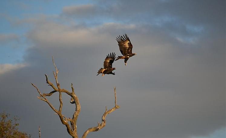 The eagle parents soar into the sky