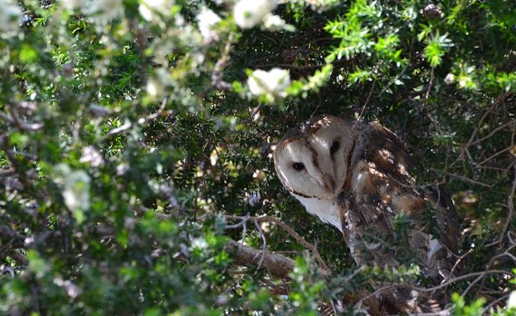 A shy barn owl