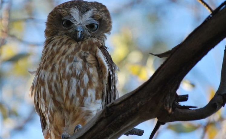 A friendly Southern Boobook owl