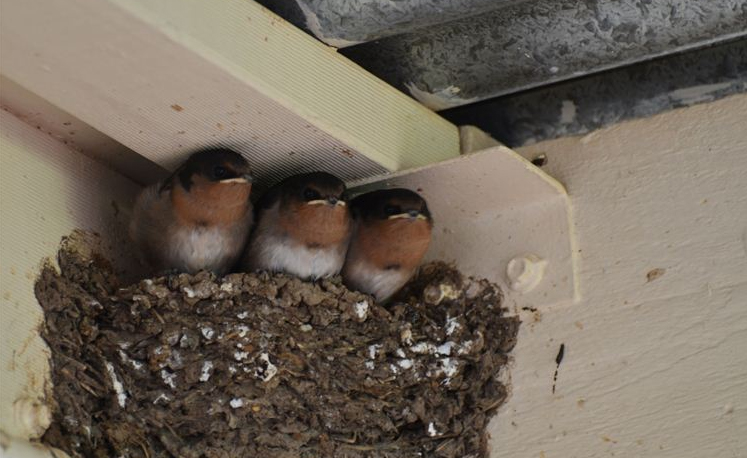 The swallows nest is getting a bit crowded
