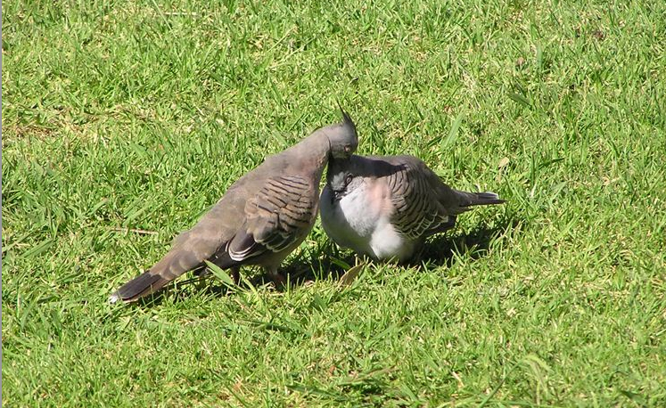 A pair of top-knot pigeons
