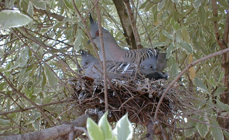 A top-knot pigeon and her chicks-so hard to see on their makeshift nest