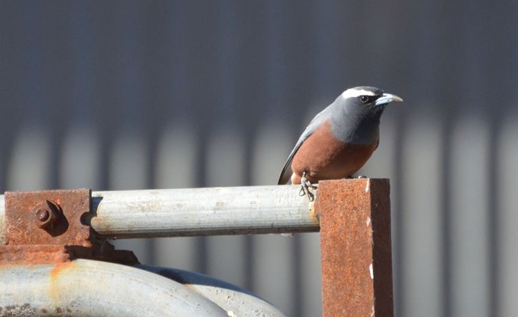 A pretty white-browed wood swallow