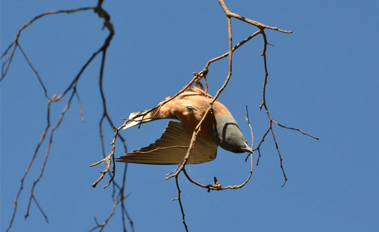 White-browed wood swallow