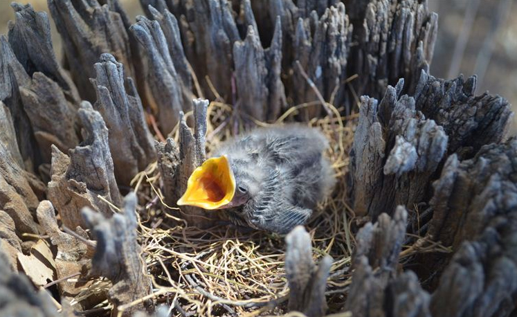 The White-browed wood swallow chick is hungry