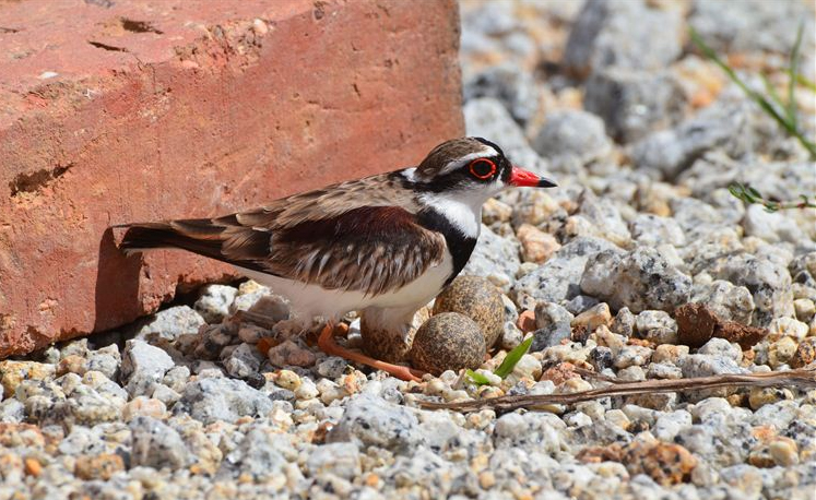 A black-fronted dotterel guards her eggs in the gravel at the edge of a road