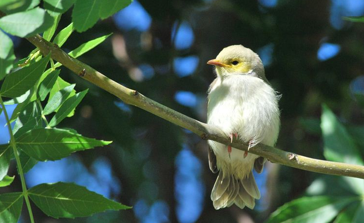 White-plumed honeyeater chick