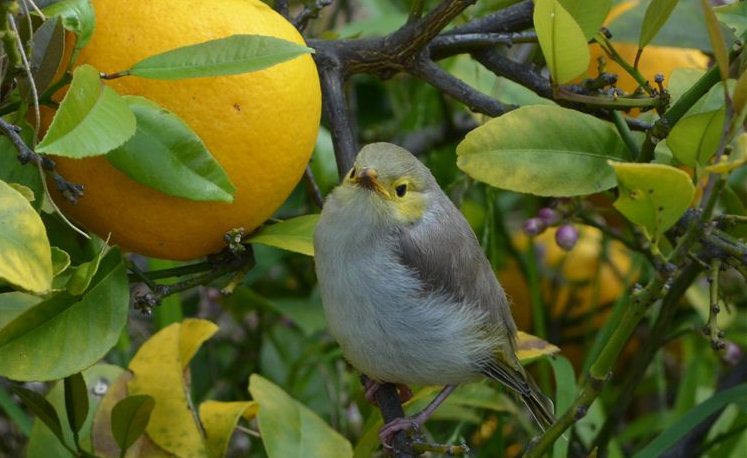 White-plumed honeyeater chick among the lemons