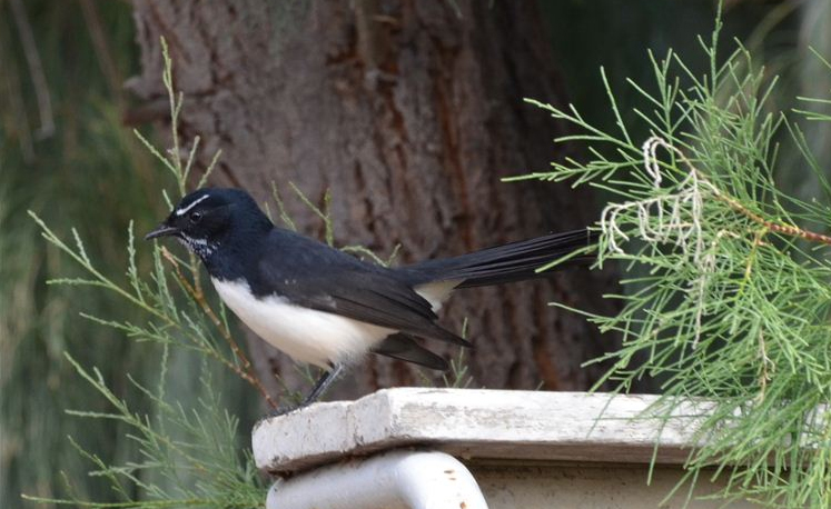 A watchful willy wagtail