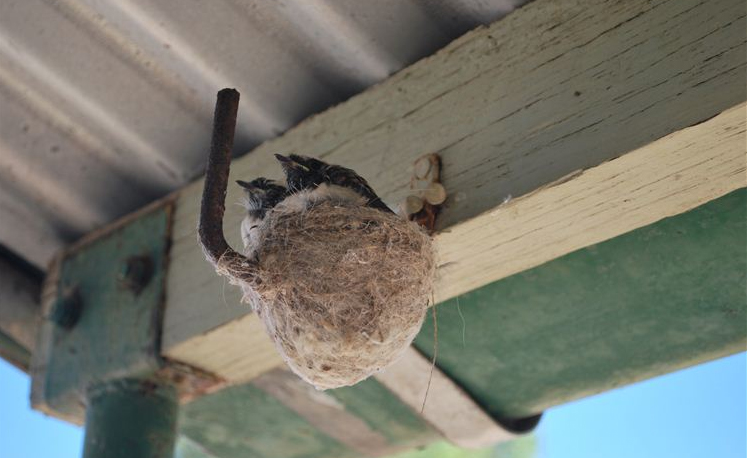 The willy-wagtail chicks almost ready to leave the nest