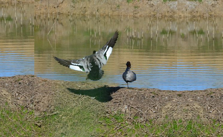 A pair of wood ducks
