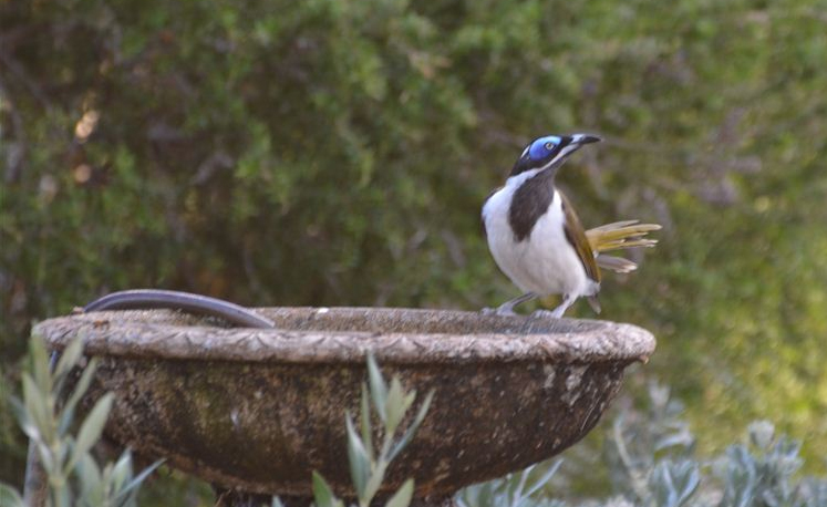 The Blue-faced honeyeater