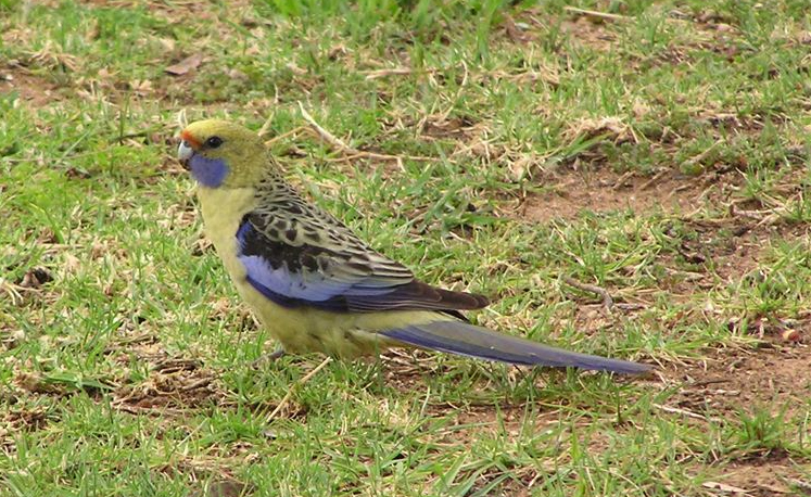 A yellow rosella