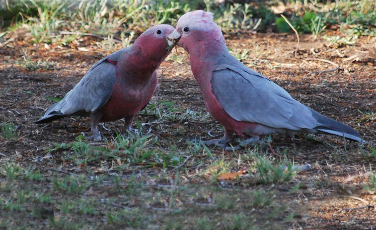 Mother galah feeds her chick