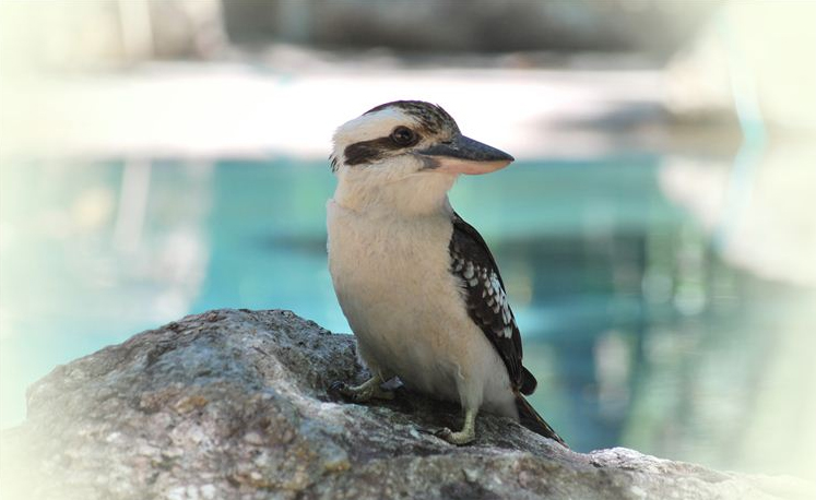 Our favourite kookaburra