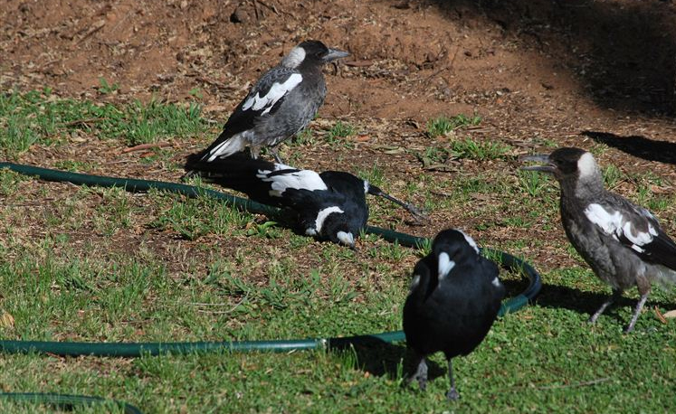 A family of magpies at play