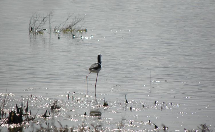 A lone stilt trying his luck
