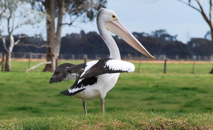 A stately pelican