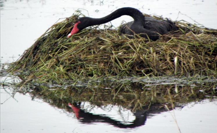 A reflective swan!