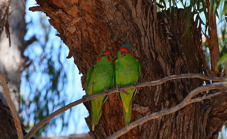 A cuddly pair of musk lorikeets