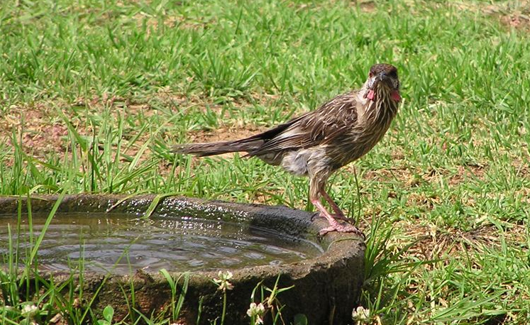 A red wattle-bird takes it's turn at the water bowl